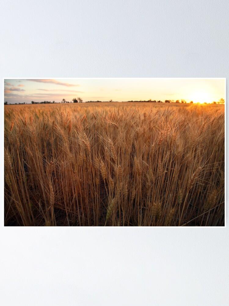 Alternate view of Golden Flakes of Wheat, Victoria, Australia Poster