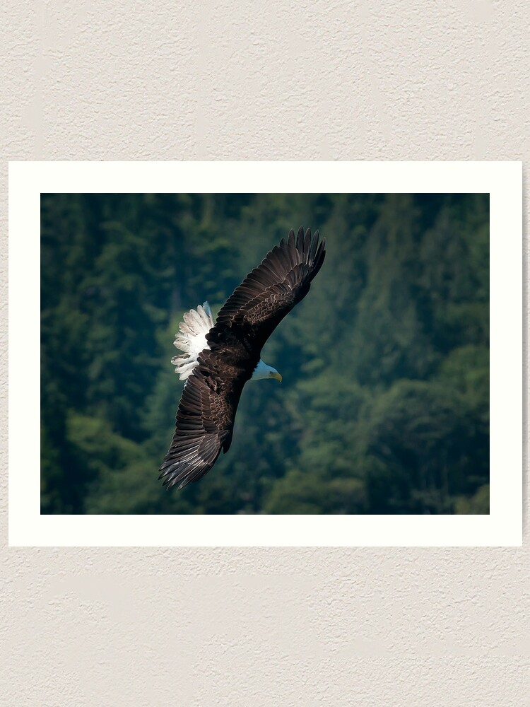 Alternate view of Eagle scouting for prey Art Print