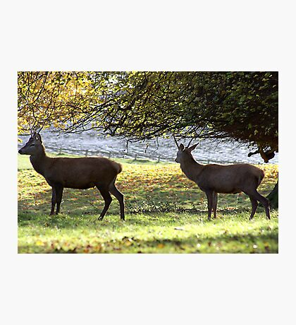 Young Bucks - Red Deer Photographic Print