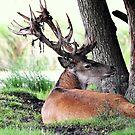 Red deer stag (cervus elaphus) in velvet by Alan Mattison