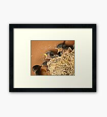 Feed Me! Feed Me! Barn Swallow Babies Framed Print