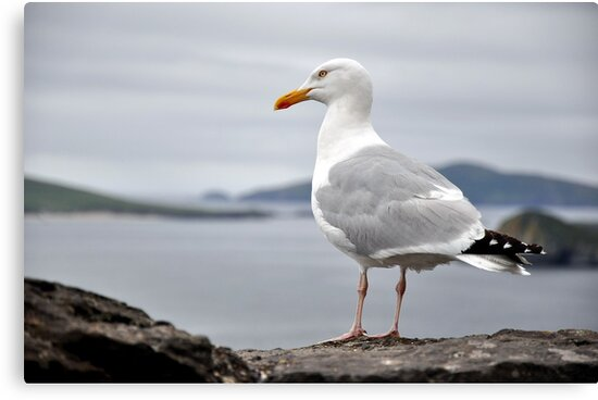Sea Gull by Pat Herlihy