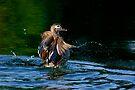 Wood Duck Dance by David Clark
