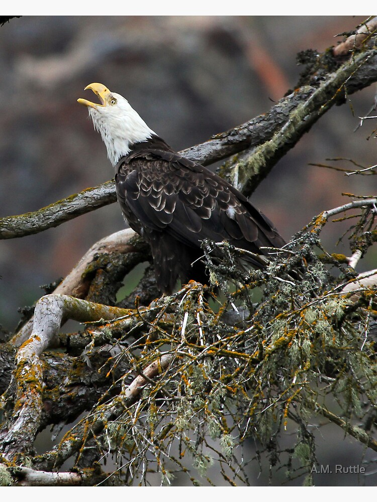 Eagle Alarm Cry, China Poot Bay by annruttle