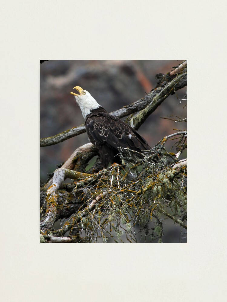 Alternate view of Eagle Alarm Cry, China Poot Bay Photographic Print