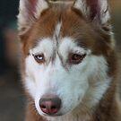 Fudge, the Husky by Etwin