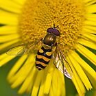 Hover Fly by Stephen Liptrot