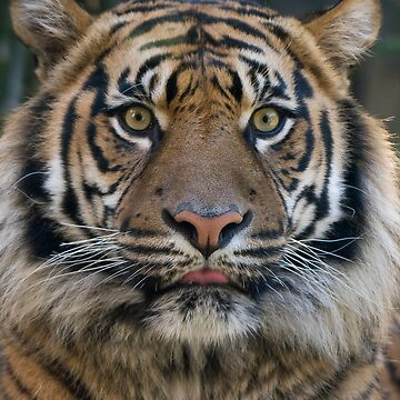 Eye of the Tiger by mattstreatfeild