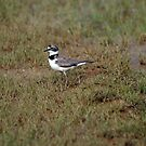 Little Ringed Plover by knelstrom