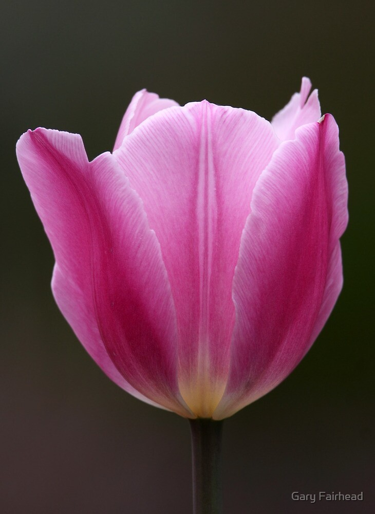 Focal Length Confinement / Tulip by Gary Fairhead