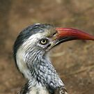 Red billed hornbill by Anthony Goldman