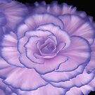 Violet Beauty Begonia ©  by Dawn Becker