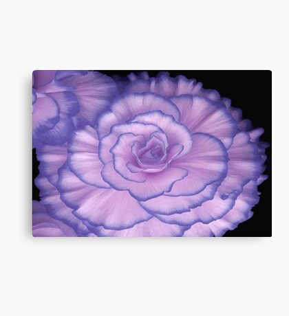 Violet Beauty Begonia ©  Canvas Print