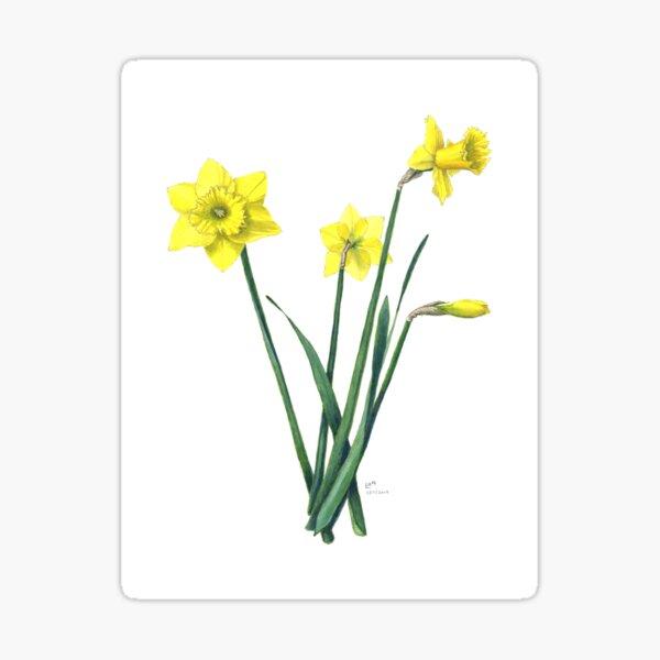 Yellow Daffodils Watercolor Botanical Illustration Sticker