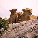 Lions Den by Matt  Streatfeild