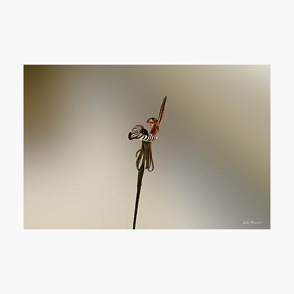 Zebra Orchid, Caladenia cairnsiana Photographic Print
