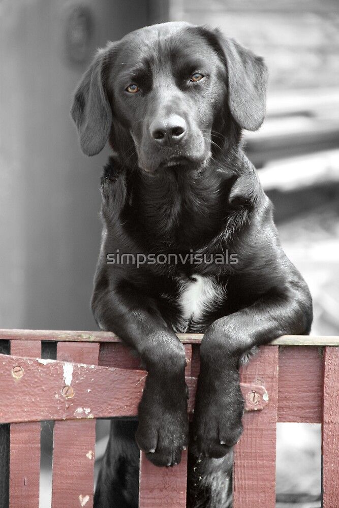 Black Labrador at the Gate, Portmahomack, Scotland, UK, Europe by simpsonvisuals