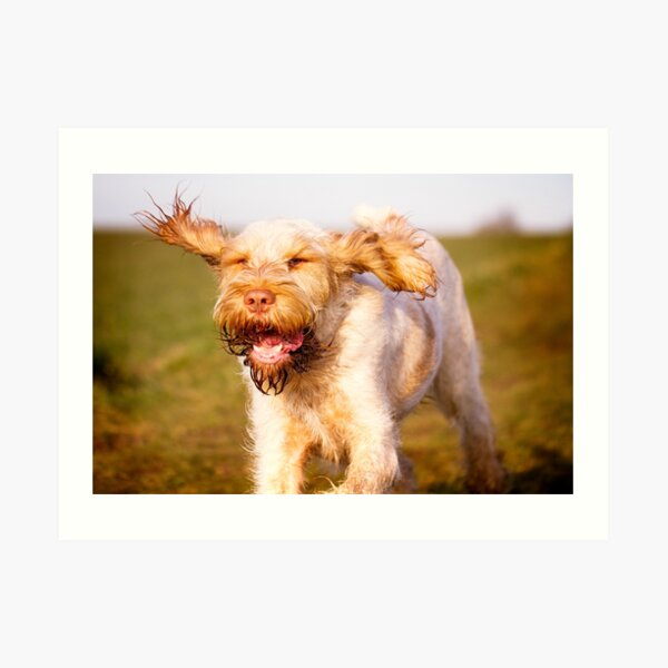 Laughing with flying ears Spinone Art Print