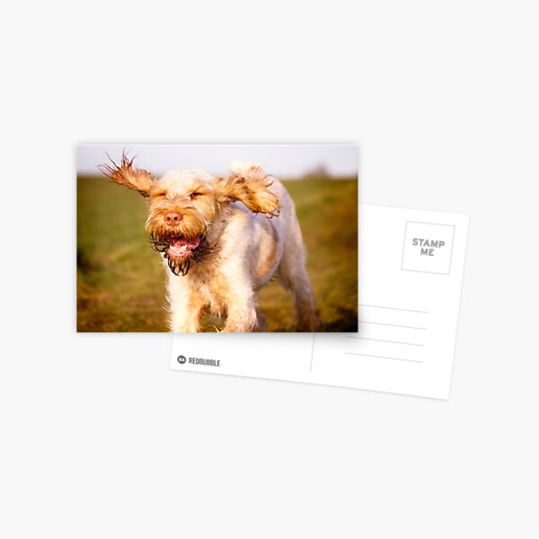 Laughing with flying ears Spinone Postcard