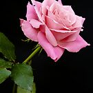 Pink Rose by Steve plowman