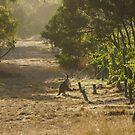 Roo in the Merlot - Magpie Springs - Adelaide Hills Wine Region - Fleurieu Peninsula by MagpieSprings