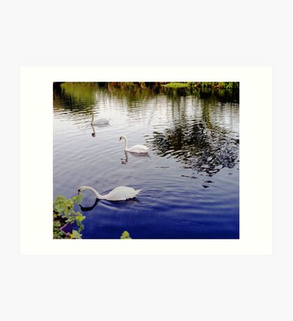 White Swan, group of 3 in colour image. Art Print