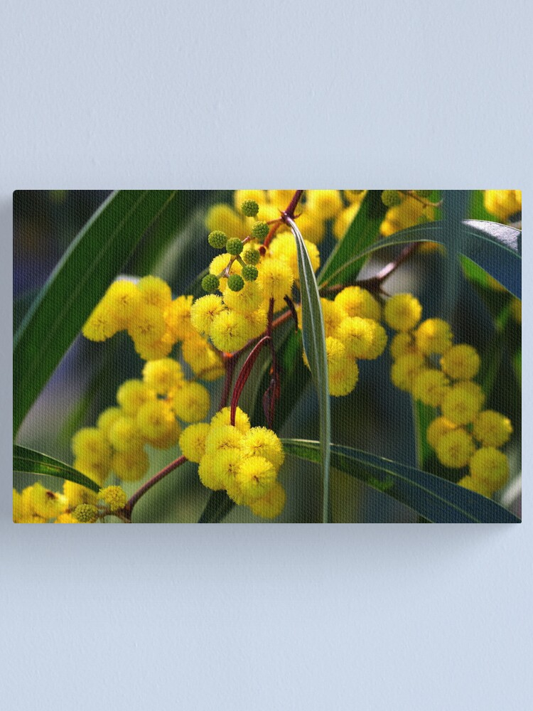 Alternate view of Acacia macradenia Canvas Print