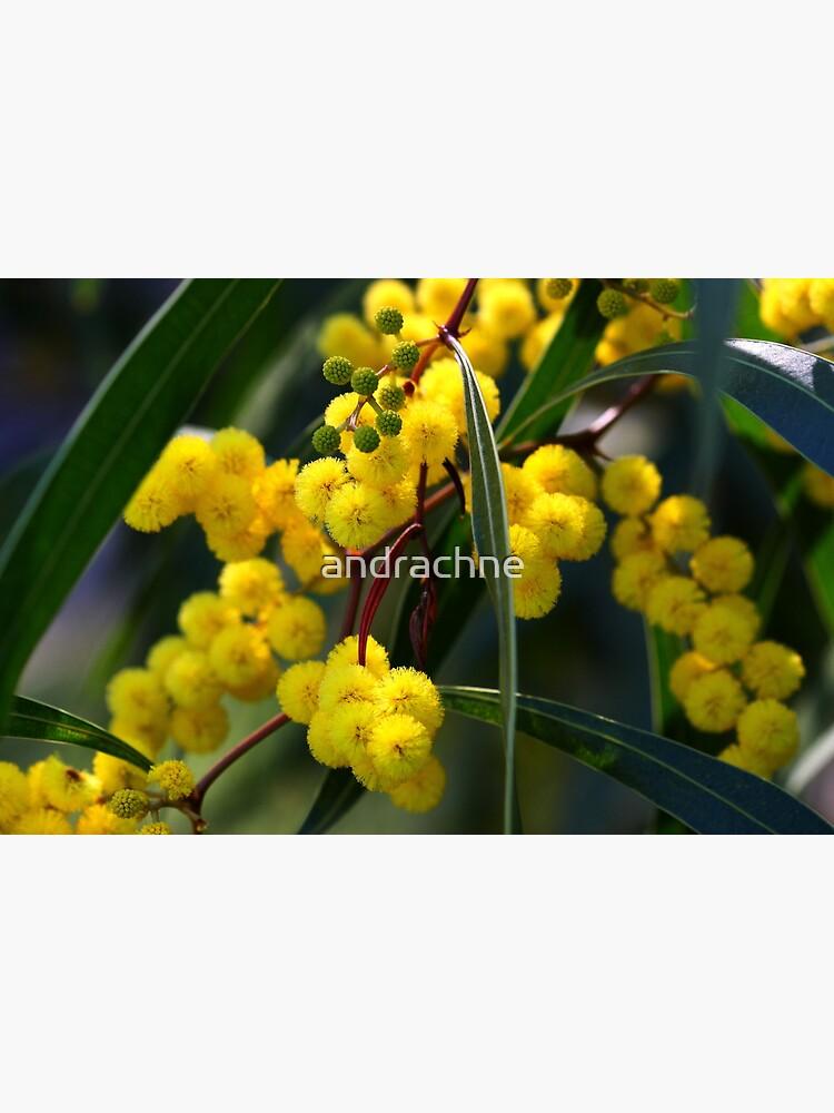 Acacia macradenia by andrachne