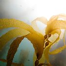 Kelp Forest, Channel Islands by AdrianeH