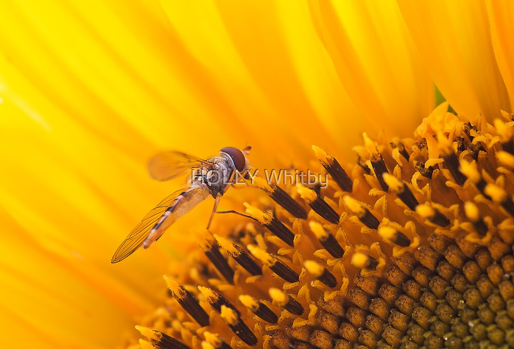 Hover fly on a Sunflower by Elaine123