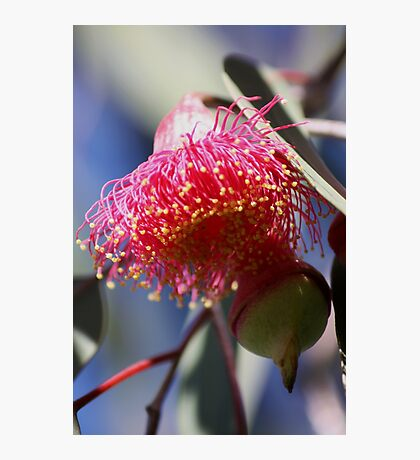 Gumnut Magic (Eucalyptus Blossom) Photographic Print