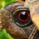 Box Turtle Macro  by hallucingenic