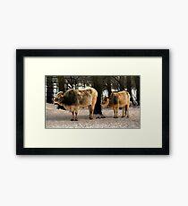 Brahman Cattle Framed Print