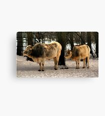 Brahman Cattle Canvas Print