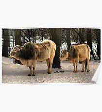 Brahman Cattle Poster