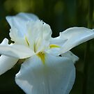 White Orchid by Lane Billings