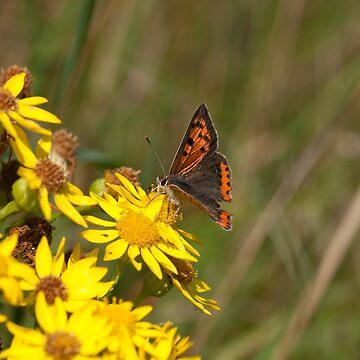 Small Copper Butterfly by jon77lees
