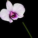 Orchid #5 by Alvaro Iribarren