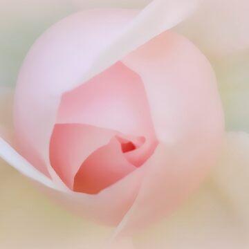 Palest of Pink by patmonty