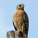 Red shouldered hawk by Anthony Goldman