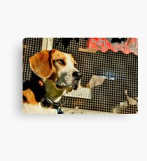 Louie - Lord of the Roost Canvas Print