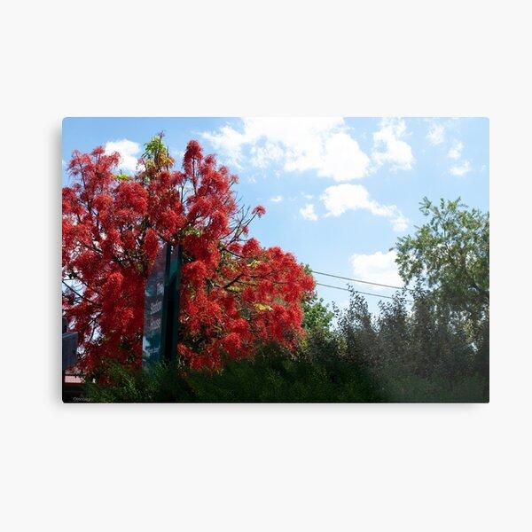 Illawarra Flame Tree Metal Print