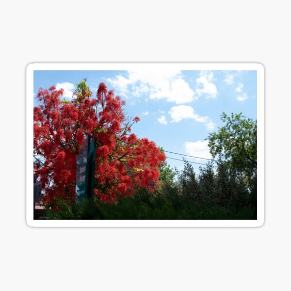 Illawarra Flame Tree Sticker