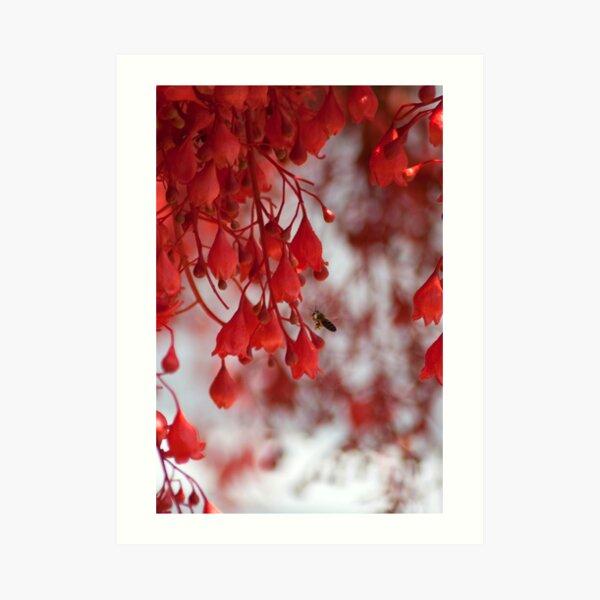 Illawarra Flame Tree flowers Art Print