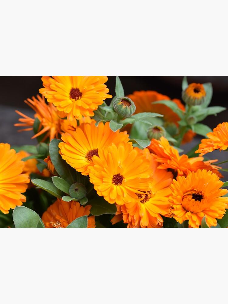 Pot marigold by santoshputhran