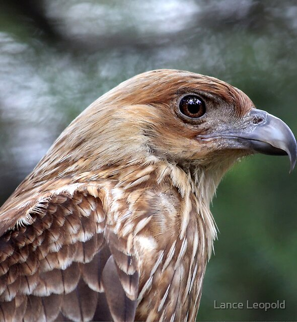 The Whistling Kite by Lance Leopold