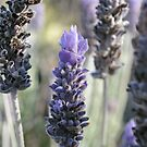 Lavender by Amy Rawlings