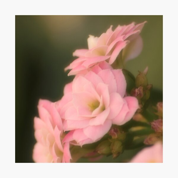 softness Photographic Print