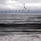 Pelicans at Poplar Beach by Cupertino