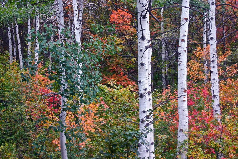 Autumn Aspens - Park City, Utah by FoxSpirit